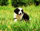 专业繁殖纯种边境牧羊犬绝顶聪明血统纯健康好训好养