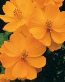 讲讲贵州金盏菊种子价格 金盏花种子价格