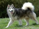 出售纯种阿拉斯加犬 阿拉斯加幼犬 品质好信誉高质量保