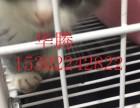 江门哪里有卖蓝白纯种蓝猫小猫价格多少江门正规猫舍