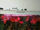 出售鹦鹉鱼和鱼缸