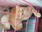 加菲猫2母1公3只