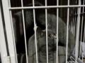 纯种英短蓝猫宝宝接受预定了