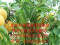 供应单株多果赏食两用果树苗