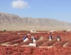 新疆库尔勒和静出售干辣椒