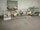 肉鴿,信鴿,鴿蛋,种鴿出售