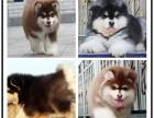自己家养的双血统阿拉斯加犬 颜值高 忍痛出售