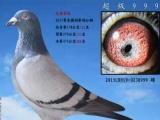 欢迎您加入潮汕信鸽微信拍卖群,加我一五九八九八四六五零零