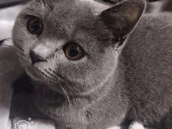 成都哪里有蓝猫卖 蠢萌型 健康无廯送货上门 支持空运