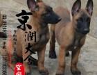 郑州有卖马犬的吗 郑州马犬多少钱一只