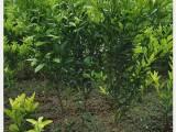 批发四川春见柑橘果树苗价格,成都哪里有春见耙耙柑桔苗买