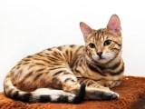 自家繁殖顶级孟加拉豹猫-纯正血统出售--请来电