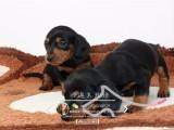 佛山在哪里买腊肠犬,佛山腊肠犬一只多少钱