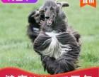 双血统阿富汗幼犬,质保三个月