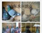 盐城元宝鸽观赏鸽肉鸽养殖场