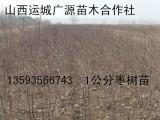 枣树苗出售 0.8-1公分枣树苗大量出售
