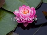 鼎达花卉苗木专业供应睡莲 睡莲种植基地