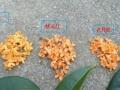 长期供应红桂花发财树苗。