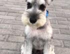 出售高品质小体雪纳瑞犬 免疫均已做完 签订售后合同