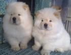 重庆松狮幼犬多少钱一只重庆哪里有卖松狮 松狮价格