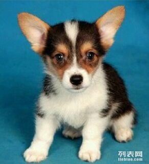 500一只赠送家养繁殖一窝纯种小柯基幼崽找爱狗人士领养