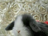 出售甜馨同款盖脸猫猫兔,道奇侏儒兔,垂耳兔