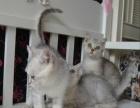 CAT KING宠物级猫猫,包健康,常批发给猫店