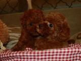 高品质纯种泰迪幼犬 幼犬待售中 专业繁殖品质保