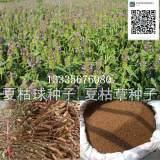 夏枯草种子种植方法
