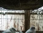 落地王 金眼白 豆眼白 芙蓉马甲 眼睛球 俄罗斯等观赏鸽出售