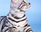 家庭式繁殖豹猫-DDMM都有-疫苗驱虫做好了