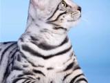 超可爱小白脸-可遇不可求纯种孟加拉豹猫品质保障