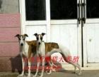 出售血统惠比特灵缇格力犬猎兔专业训练各种猎犬