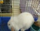 宠物垂耳兔一只80