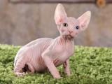 加拿大无毛猫斯芬克斯母 纯白皮蓝黄鸳鸯眼妹妹三个半月
