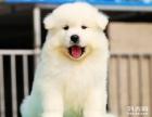 萨摩耶幼仔多少钱一只 成都哪里能买到纯种萨摩耶狗狗