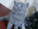 河南洛阳纯种蓝猫幼崽特价处理