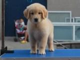 成都出售纯种金毛幼犬 成都纯种狗狗幼犬钱