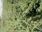 云杉、雪松、樟子松、馒头柳、新疆白杨等不同品种树苗