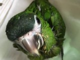 出售人工繁殖迷你金刚鹦鹉 灰鹦鹉 葵花鹦鹉 亚吗逊鹦鹉