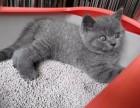 英短藍貓 美短加白 藍白 漸層 起司高白貓(包純種健康)