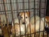 家養威瑪獵犬可上門挑選價格便宜