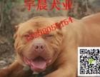 两个月的斗狗幼犬多少钱 小斗狗的价格图片