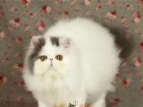 波斯猫加菲猫活体宠物幼猫cfa注册猫舍家养纯种猫咪