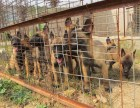 双血马犬 专业繁殖 可上门挑选 协议质保