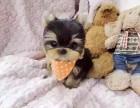 约克夏犬多少钱一只 哪里有卖约克夏犬 北京出售约克夏犬