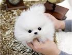 上海女神萌宠博美俊介繁育基地常年幼犬出售 实地挑选