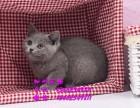 深圳哪里有卖猫 美国短毛猫价格多少呢