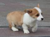 家养一窝纯种柯基犬可以签协议 来家里看狗父母