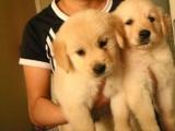 高品质双血统金毛犬哪里可以买到好一点的